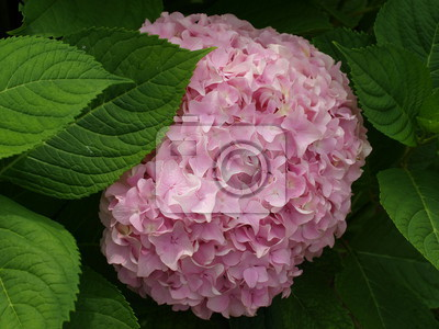 round pink flower surrounded by green leaves.