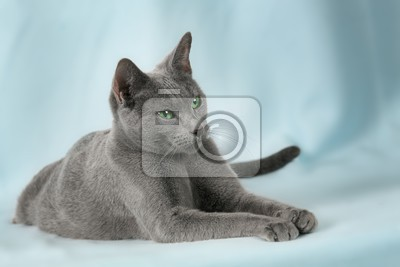 cats breed russian blue on the blue background