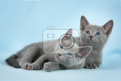 kittens breed russian blue on the blue background
