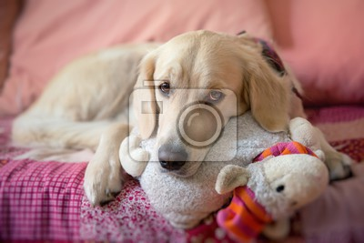 dog lying on the bed with his head resting on a plush cushion  golden retriever
