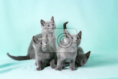 kittens breed russian blue on the color background