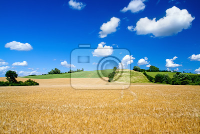 barley fields with beautiful skies in summer