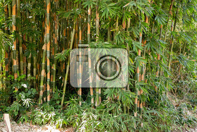 detail of many of the early bamboo trees nusa penida bali indonesia