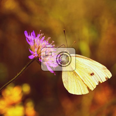 beautiful butterfly on flower natural colorful background pieris brassicae